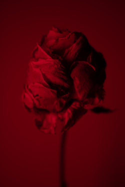 Withered rose in dark studio with red neon light