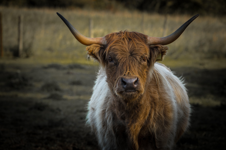 Free stock photo of animal farming, bull, calf, cow