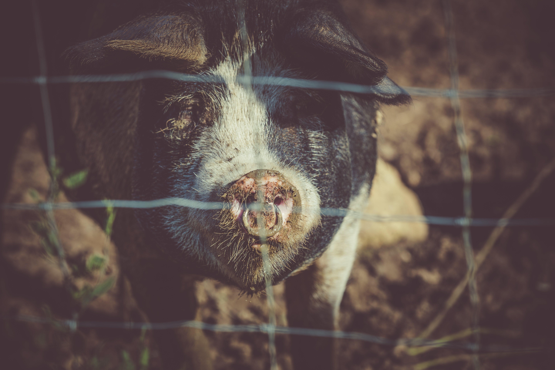 Black Pig at Fence