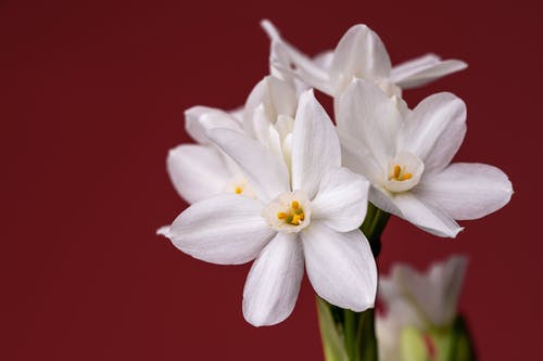 Various white daffodils flowers in studio