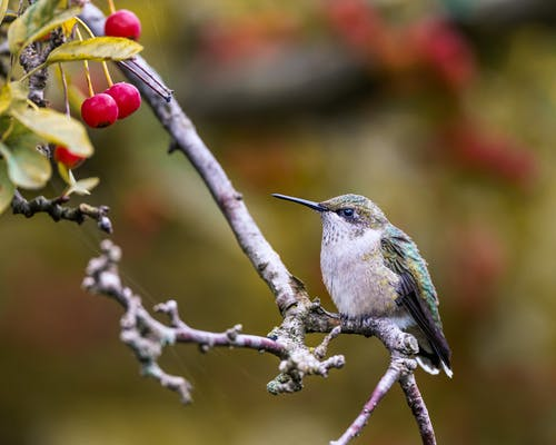 Hummingbird sitting on branch with berries