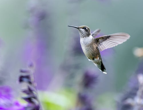 Tiny hummingbird with long beak and spread wings flying over purple blooming plants in nature on blurred background in forest