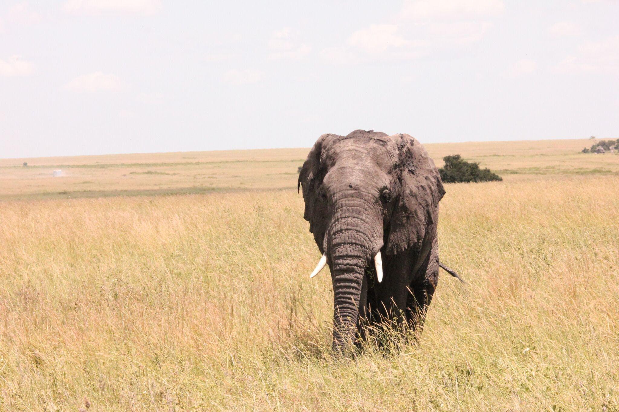 Elephant on Brown Grass Field