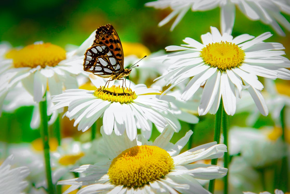 Macro Shot of a Butterfly Pollinating on Blooming White Daisies