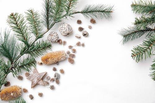 คลังภาพถ่ายฟรี ของ pinaceae, tracheophytes, กลิ่น