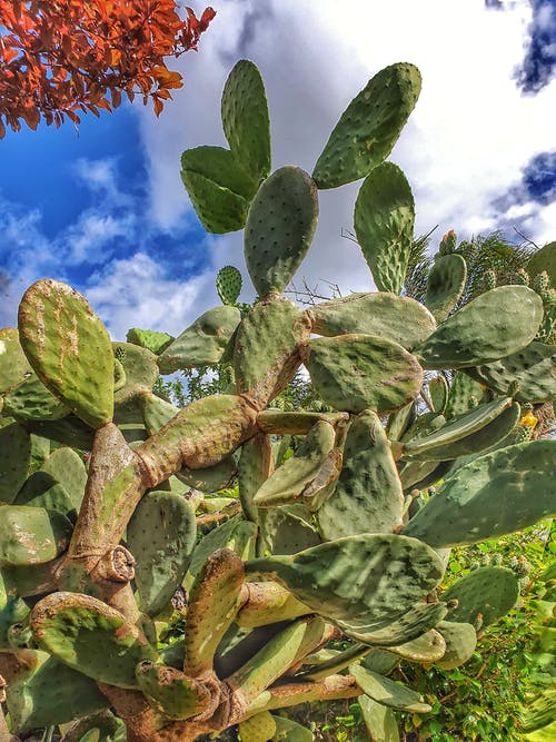 Free stock photo of cactus, large cactus, prickly pear