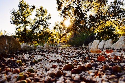 Free stock photo of acorns, away, colors of autumn