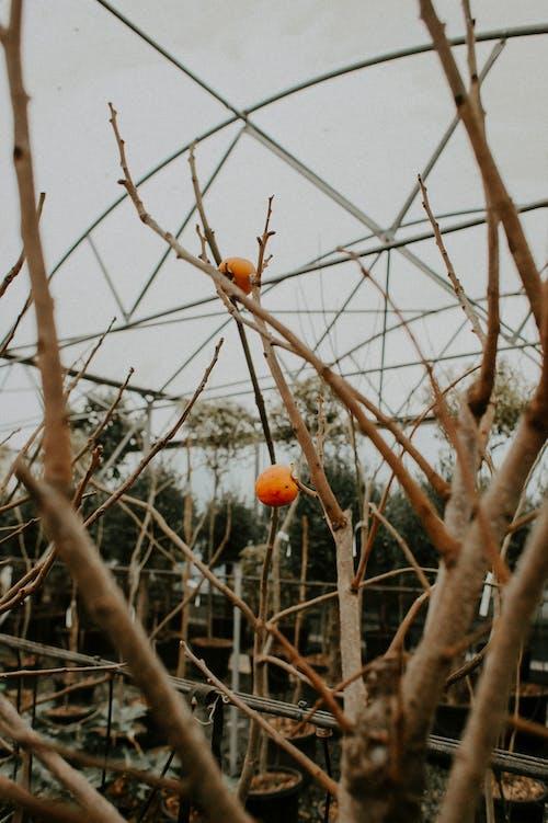 Orange Round Fruits on Brown Tree Branch