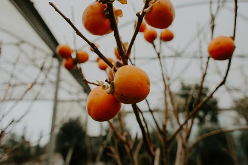 Orange Fruit on Brown Tree Branch