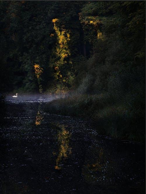 Základová fotografie zdarma na téma dřevo, labuť, les, magický