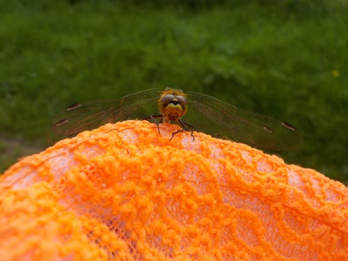 Ilmainen kuvapankkikuva tunnisteilla appelsiini, kesä, sudenkorento