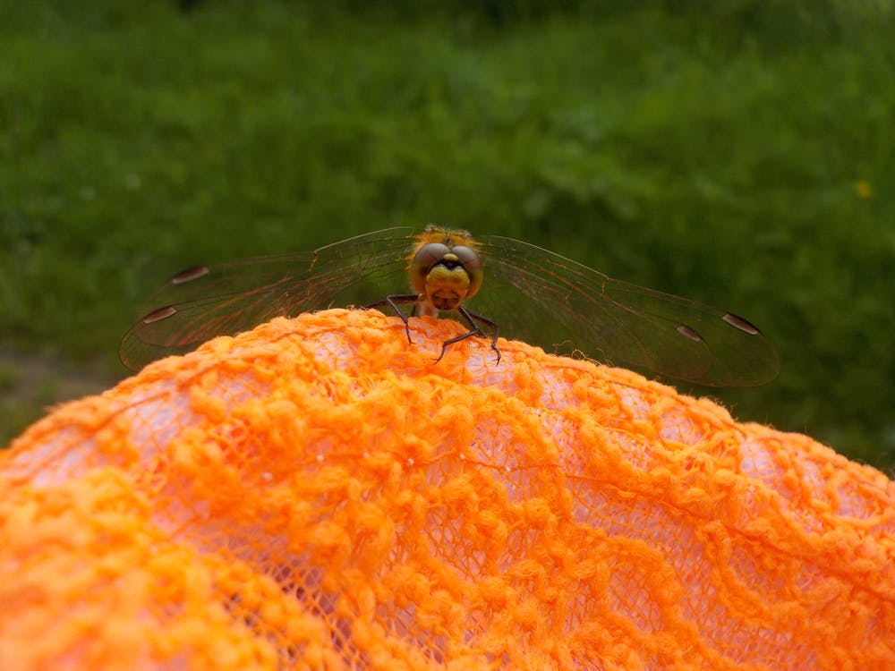 Free stock photo of dragonfly, orange, summer