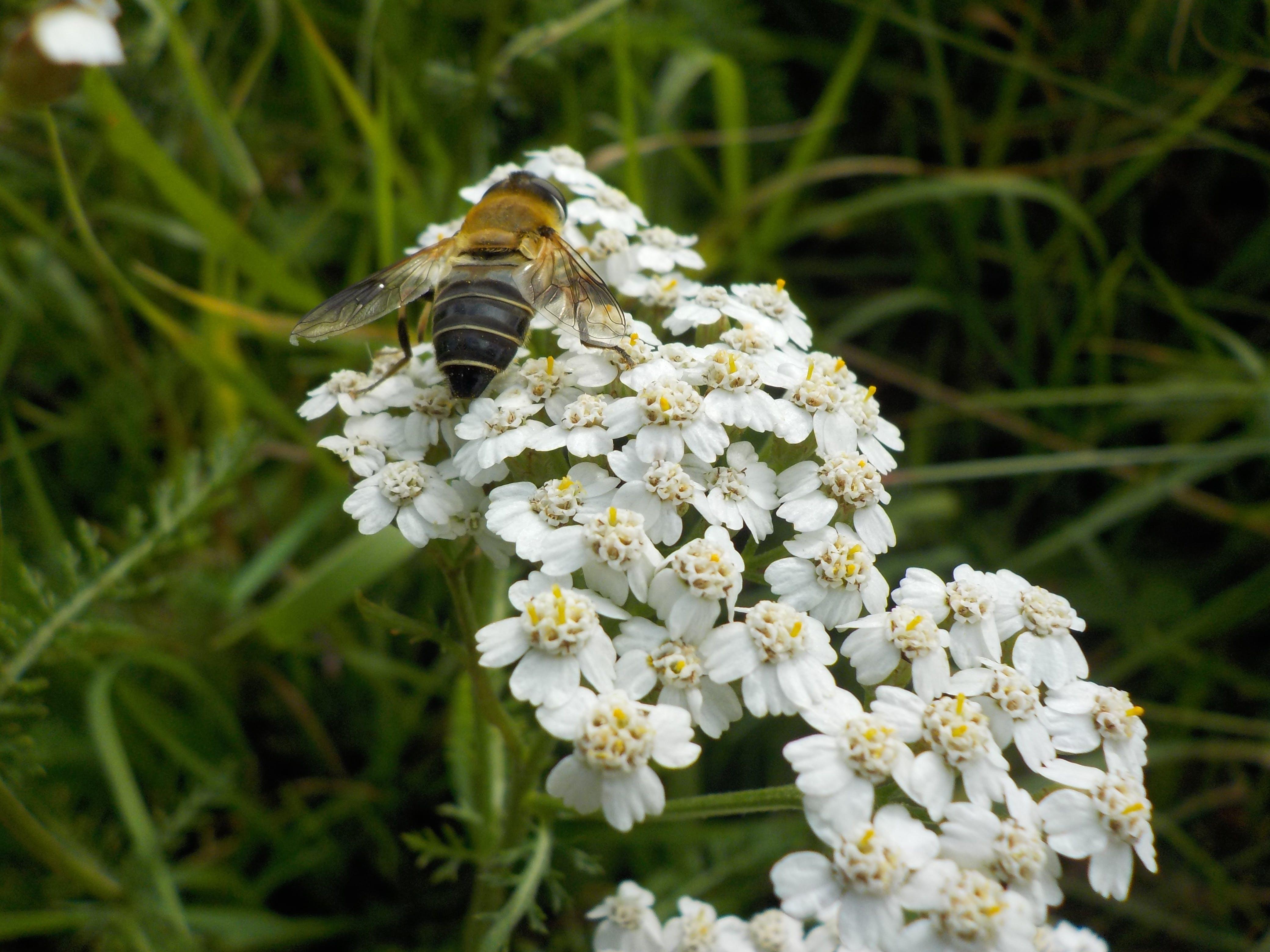 Free stock photo of bee, flower, white
