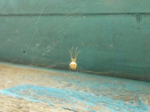 Gratis lagerfoto af edderkop, væv