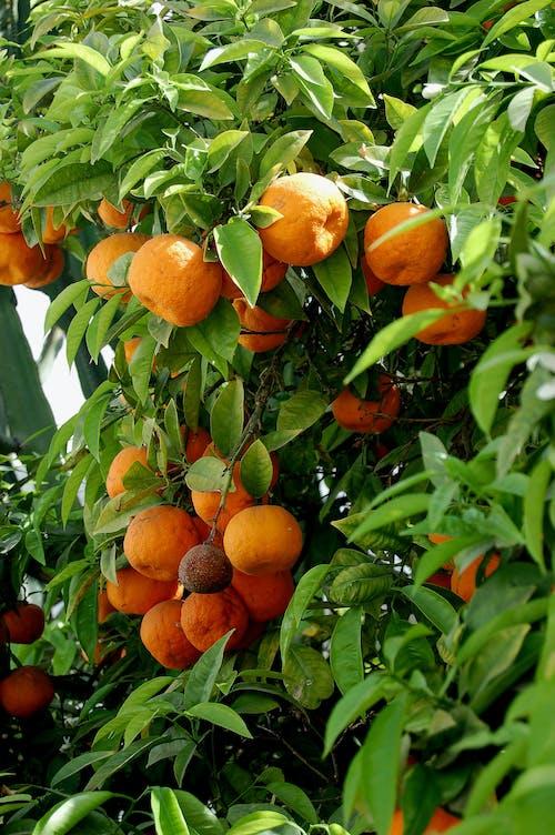 Imagine de stoc gratuită din fruct, maroc, portocală