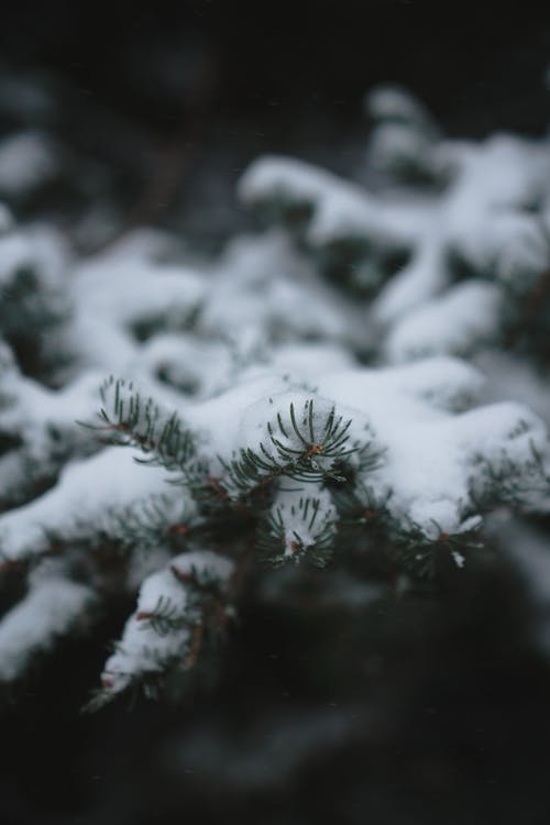 Coniferous tree branch covered with snow growing in forest on cloudy winter day