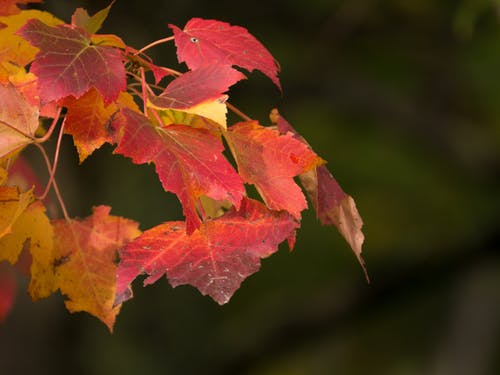 Free stock photo of red leaf