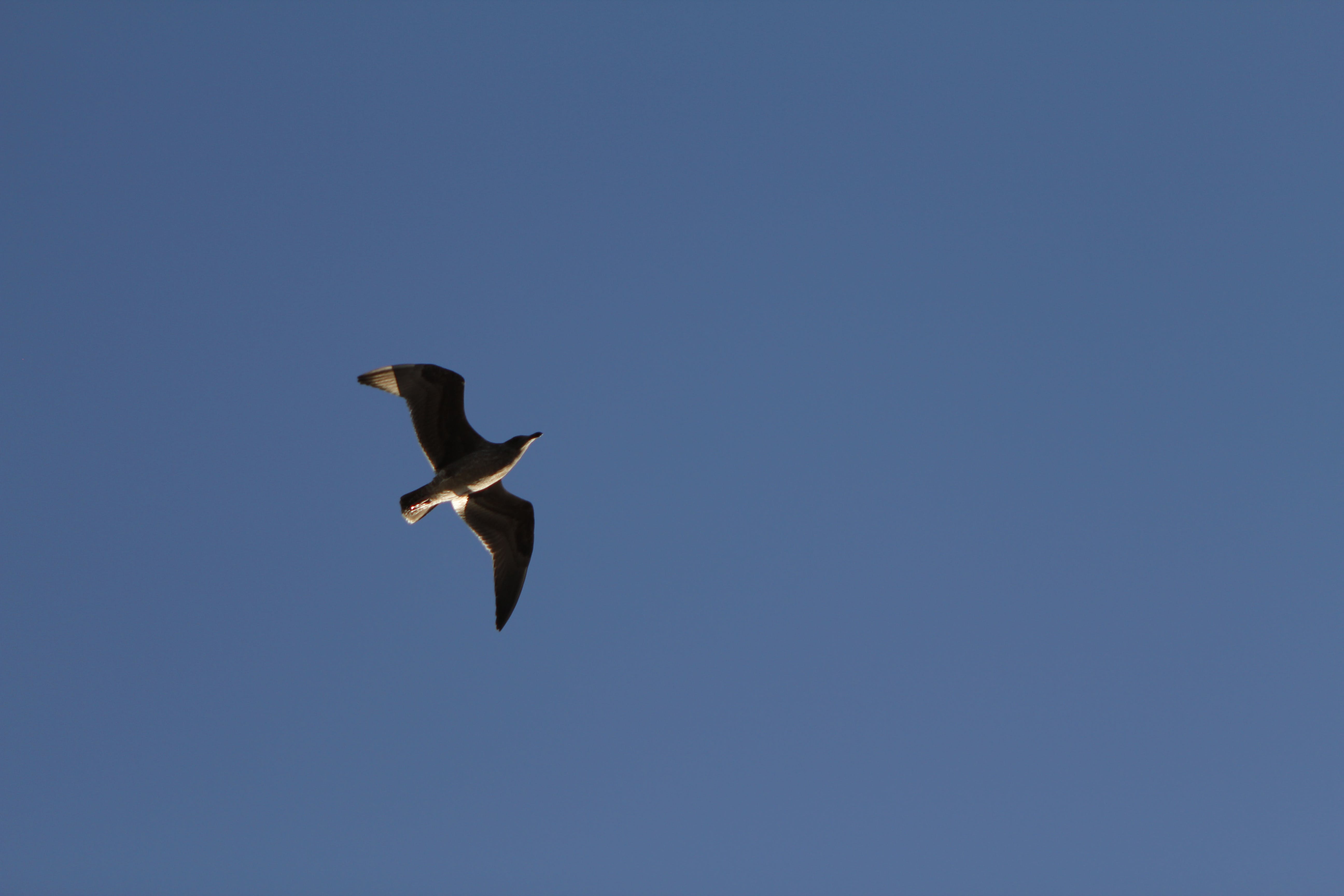Free stock photo of bird, blue, flying, sky