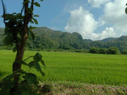 Imagine de stoc gratuită din câmp nedecorticat, orez nedecorticat