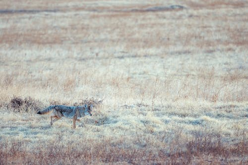Wild attentive coyote walking along dry grassy meadow covered with hoarfrost and looking away in daylight