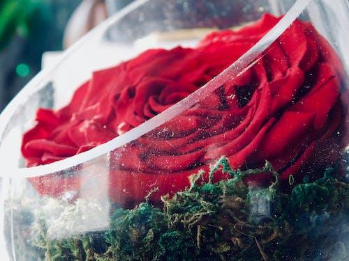 水晶玻璃, 紅玫瑰, 美麗的花朵 的 免費圖庫相片