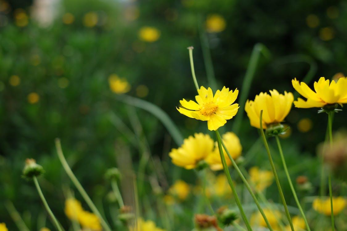 Foto profissional grátis de amarelo, flor