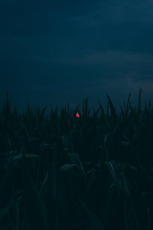 Free stock photo of blood moon, blue, corn