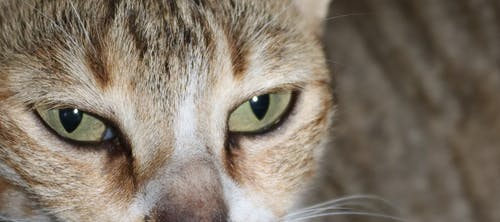 Free stock photo of animal eye, cat, eyes