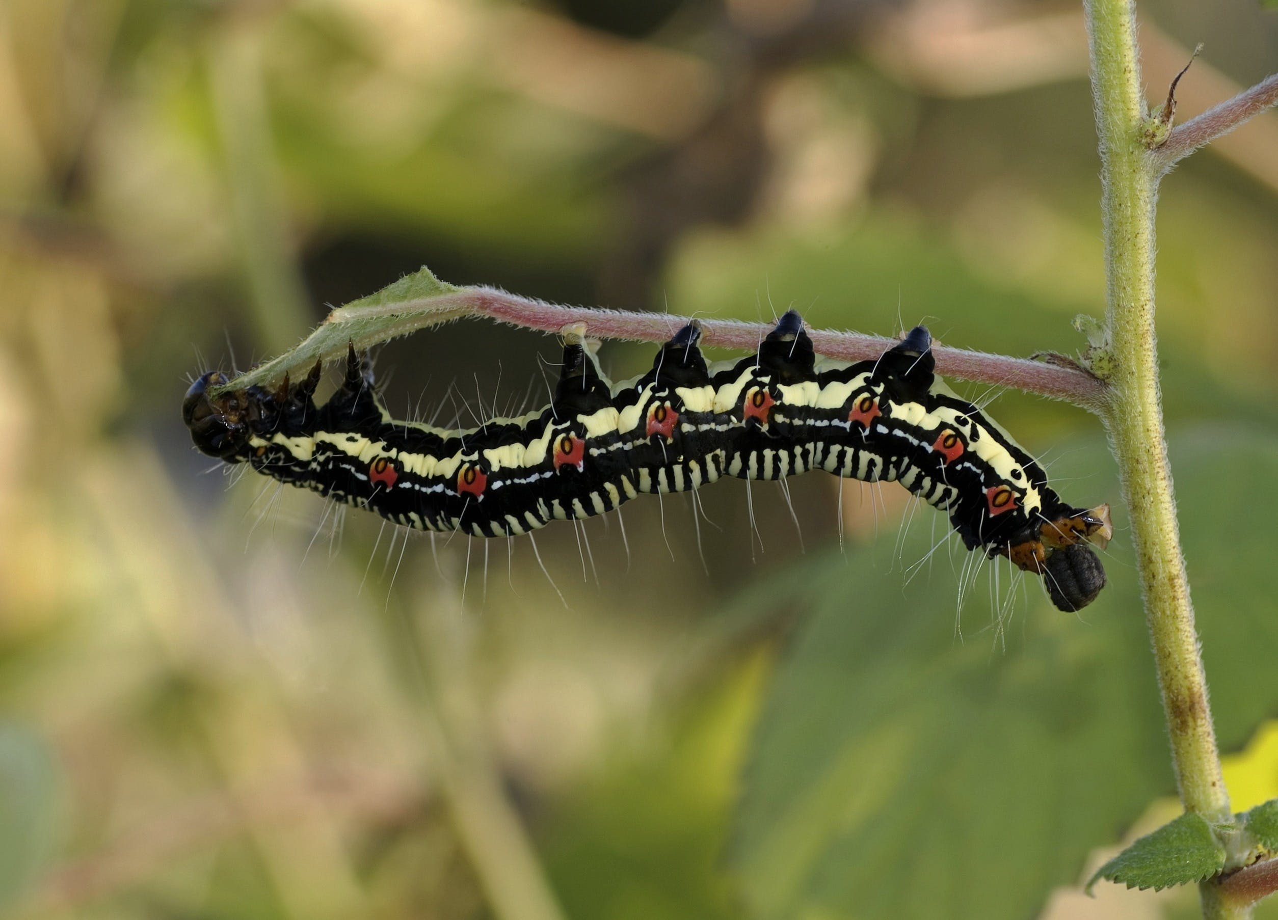 Black White and Brown Caterpillar on Green Grass