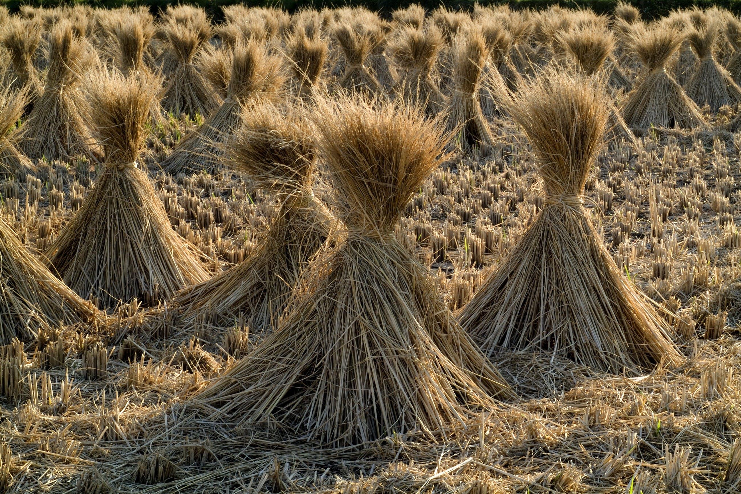 Gratis stockfoto met akkerland, boerderij, fabrieken, gewas