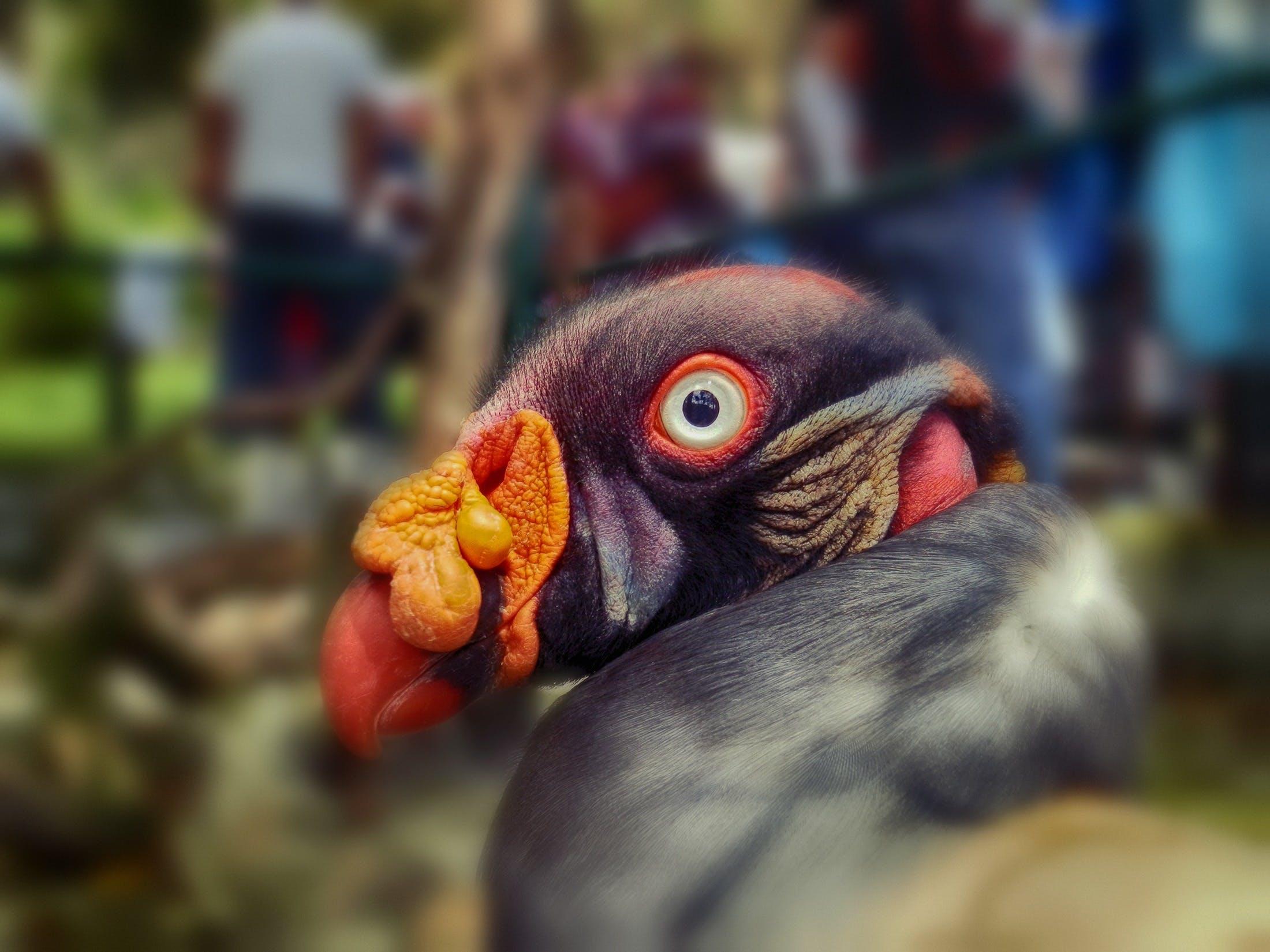 Gratis lagerfoto af close-up, dyr, eksotisk fugl, farverig