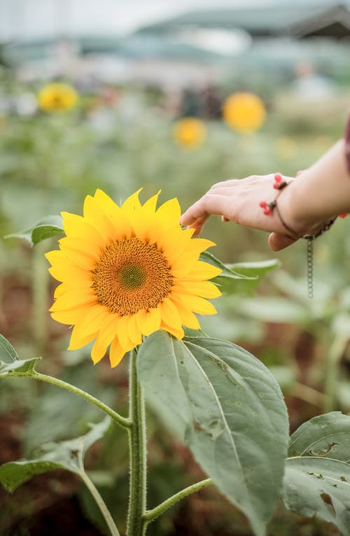 Crop anonymous female with bracelet touching petal of sunflower growing in farm in countryside