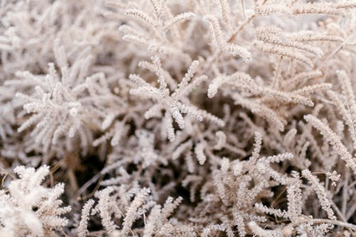 Frozen branches of evergreen tree covered with white hoarfrost and needles of crystals