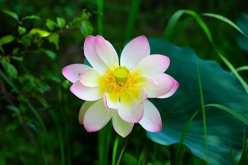 คลังภาพถ่ายฟรี ของ 'indian lotus', กลีบดอก, กลีบดอกไม้
