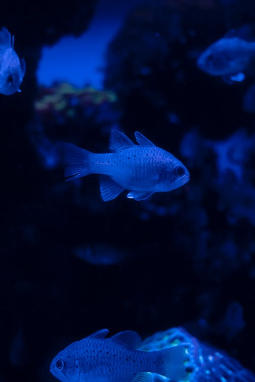 Blue and White Fish in Water