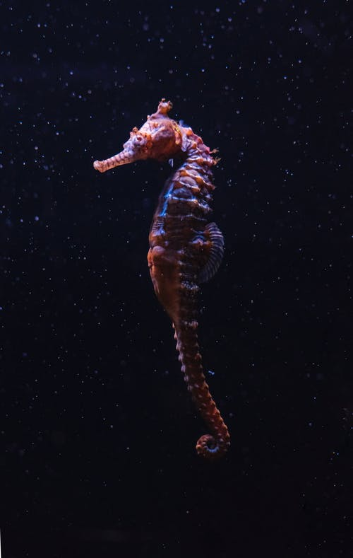 A Close-Up Shot of a Seahorse Underwater