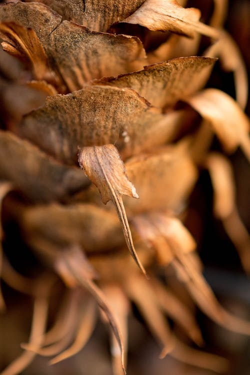 Selective Focus Photography of Pine Cone
