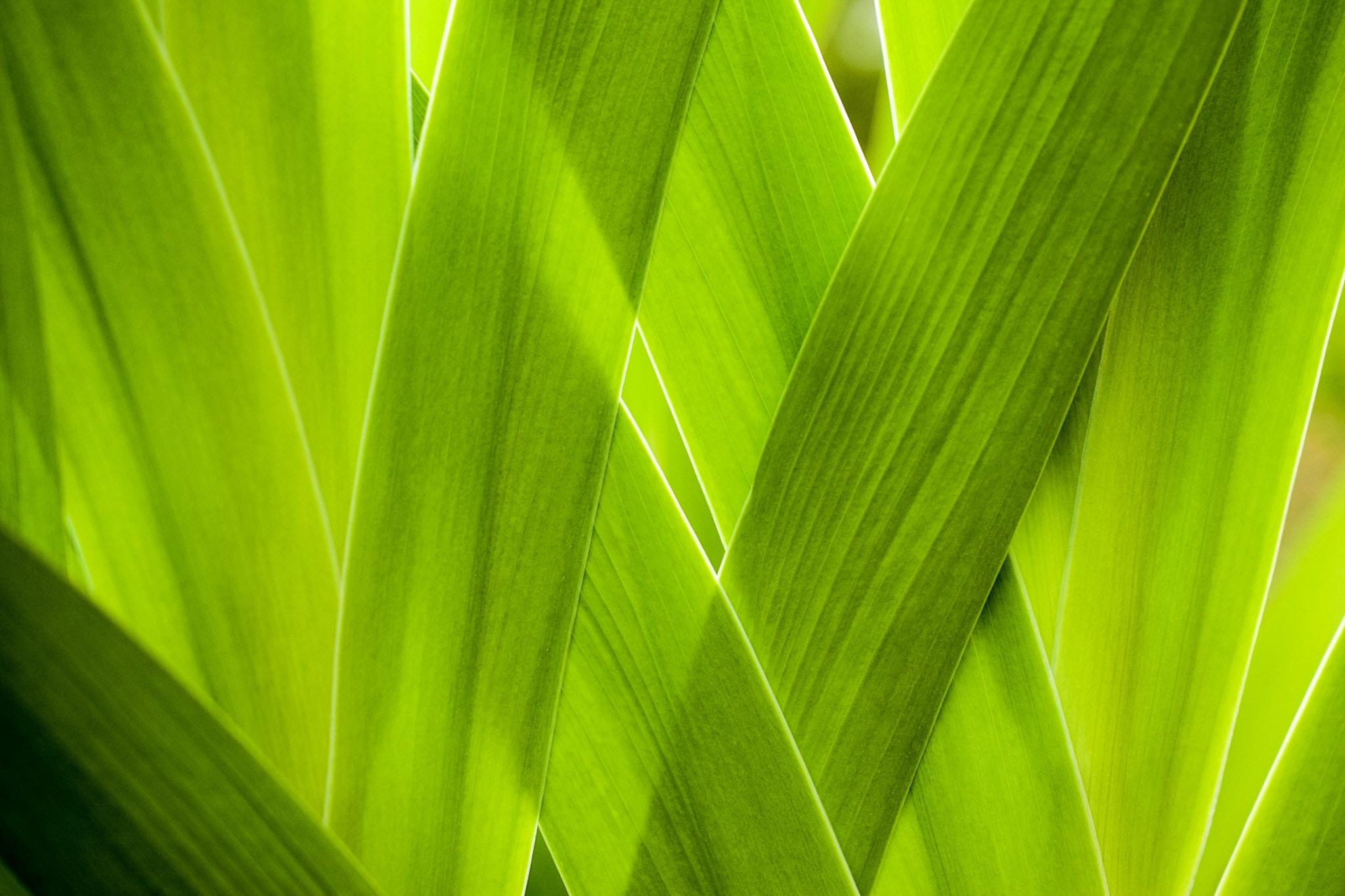 green banana leaf with substance of clear liquid  u00b7 free