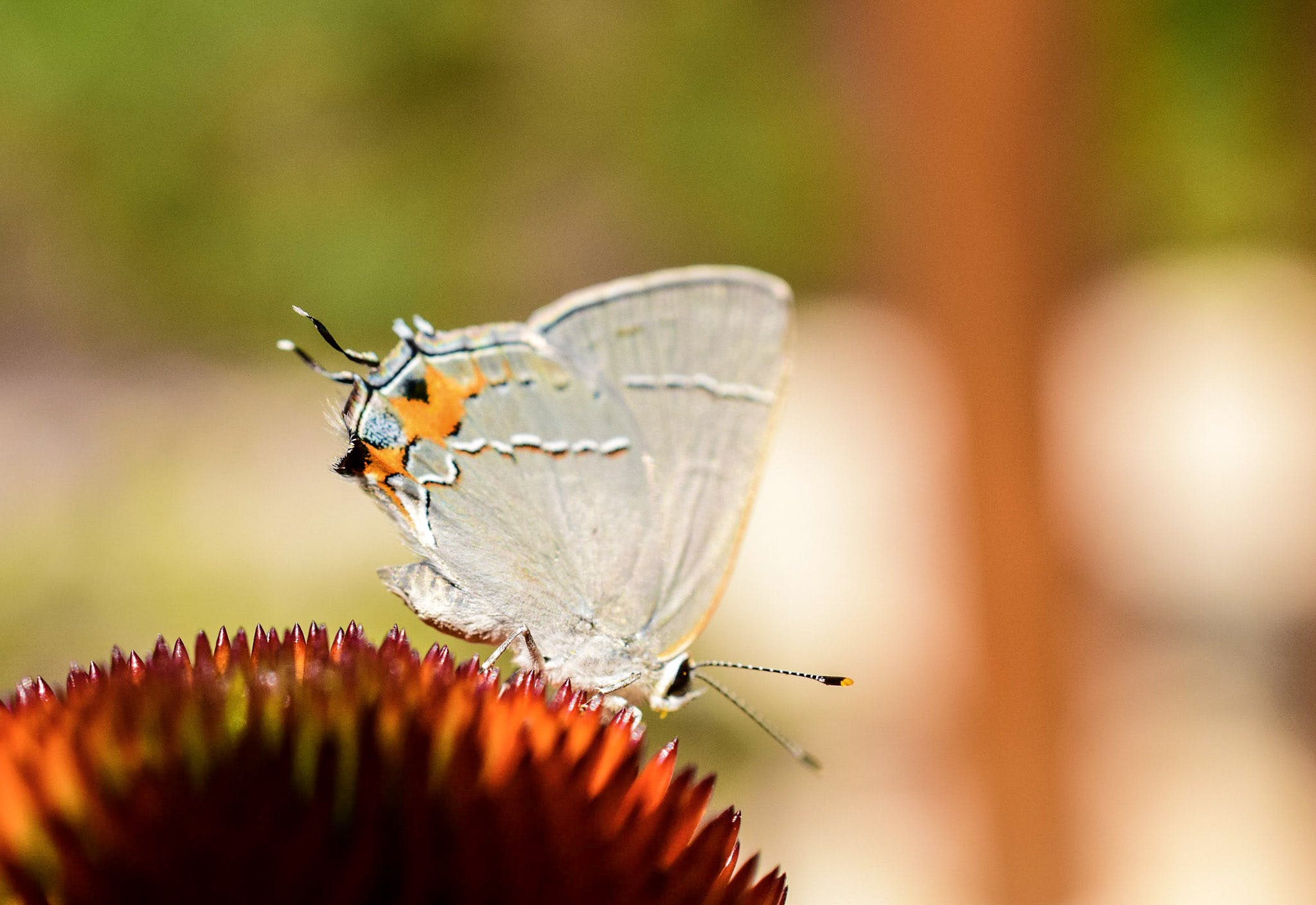 White Butterfly Perched on Red Flower