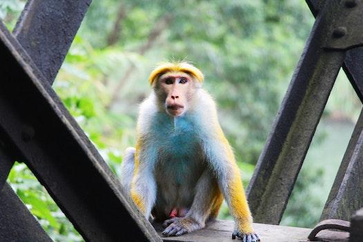 Free stock photo of animal, cute, fur, monkey