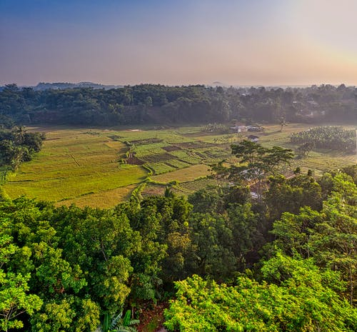 Green trees growing near rice plantation against sunset sky