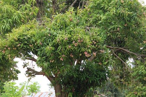 Free stock photo of fruit, kenya, mango fruit