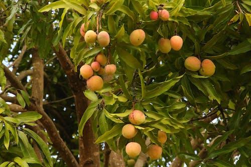 Free stock photo of golden yellow, kenya, mango tree