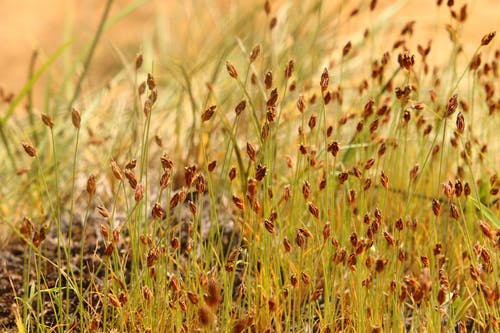 Free stock photo of blade of grass, brown background, brown grass