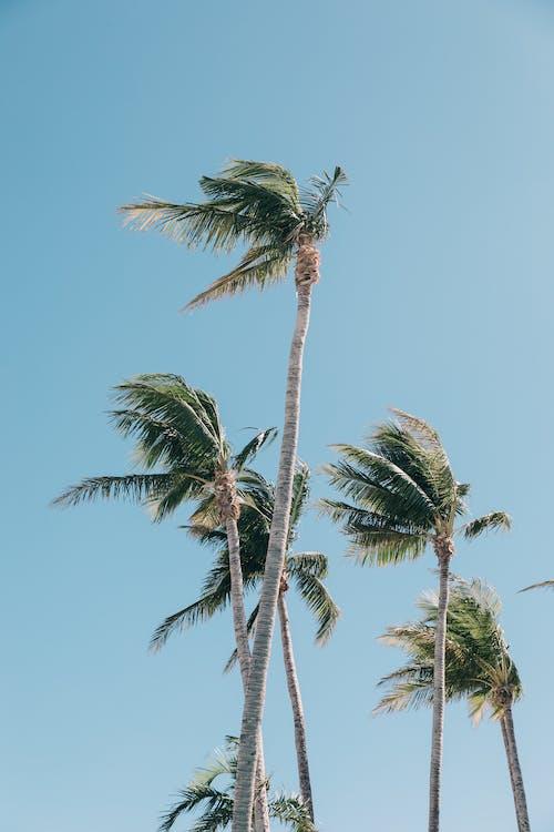 Fotos de stock gratuitas de cielo azul, exótico, palma
