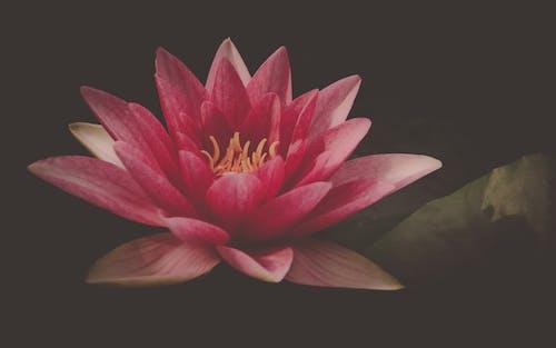 คลังภาพถ่ายฟรี ของ ดอกบัว, ธรรมชาติ, บ่อ, บัว