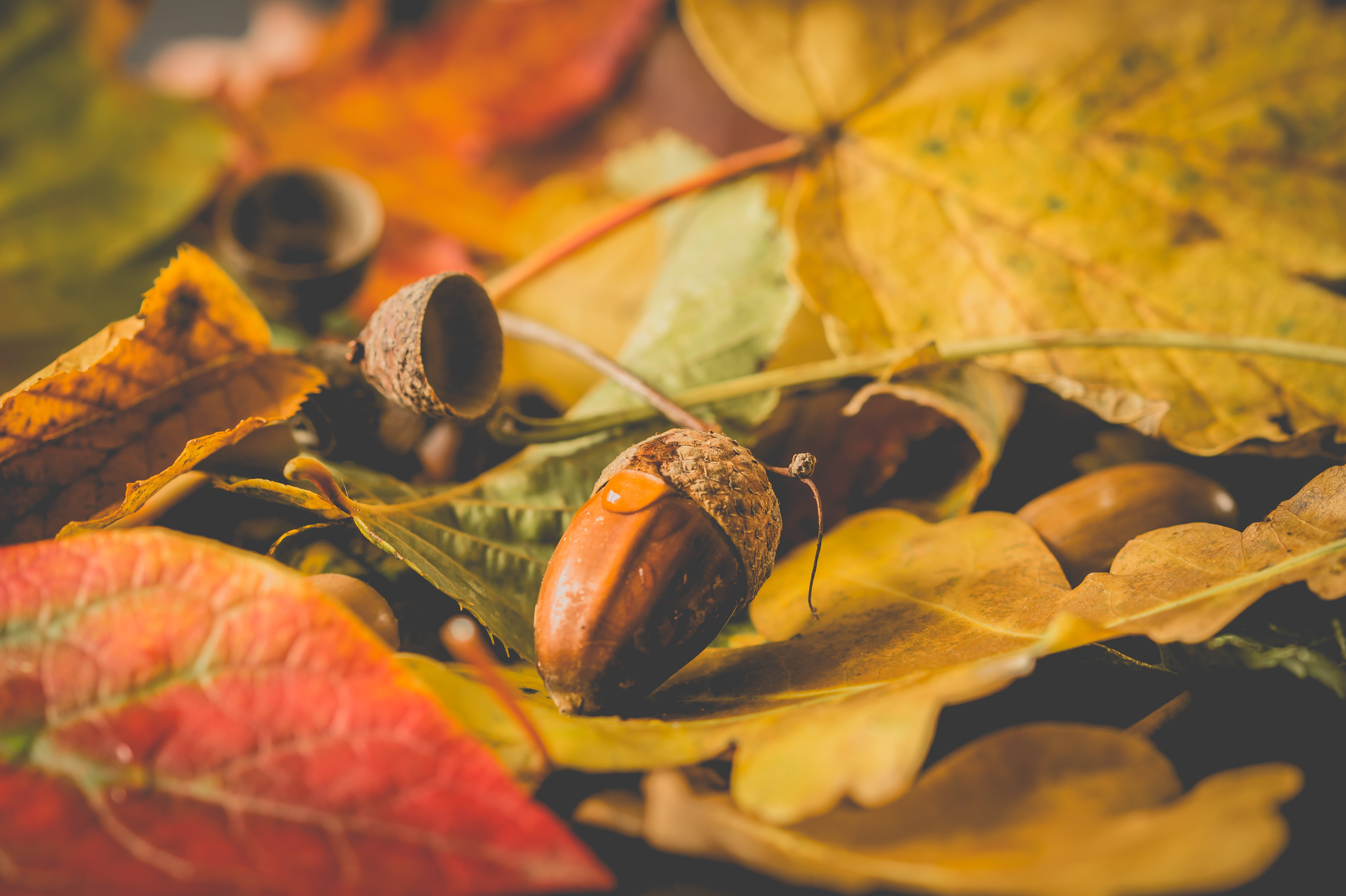 Acorn in Close-up Photography