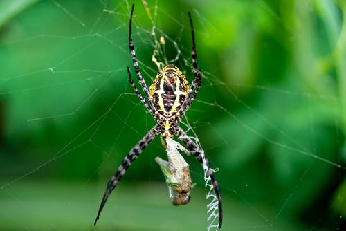 Banded garden spider or Argiope trifasciata on web on green background and wrapping prey in cocoon from cobweb in summer day