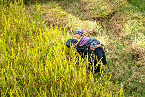 Side view of unrecognizable ethnic female farmer carrying cute little child on back while harvesting plants on fresh green agricultural field
