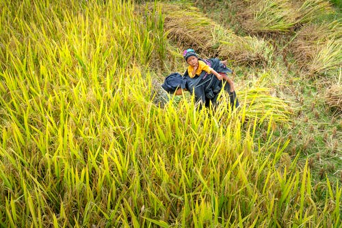 Unrecognizable ethnic woman carrying little child on back during work on rice field